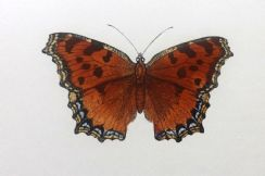 21st October 2020. Morris Butterfly Prints
